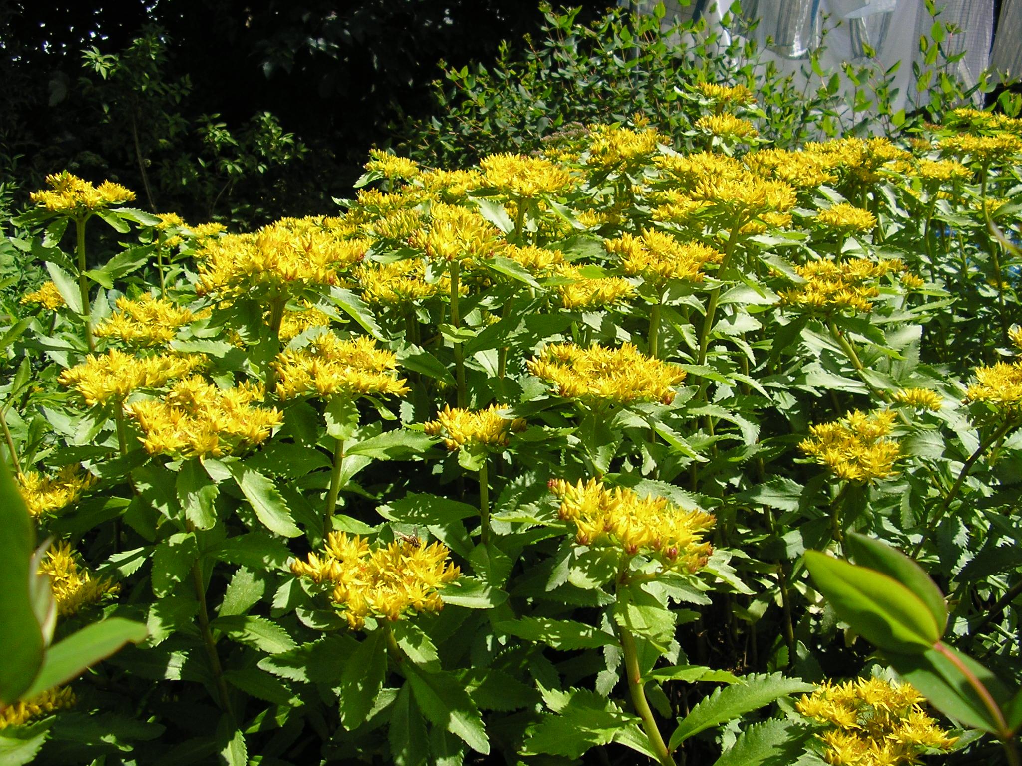 staude gul blomst