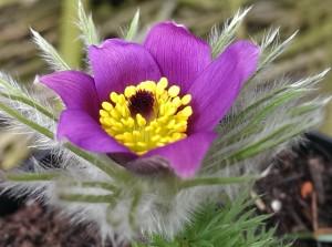 Mine pulsatilla er begyndt at blomtre. Jeg elsker de smukke farver og det fine løv. I marts nummeret af HAVEN var der en god artikel om dem.